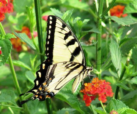 swallowtail: Eastern Tiger Swallowtail butterfly on Lantana Camara