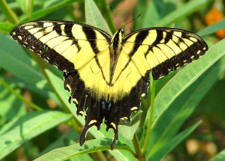 milkweed butterfly: Eastern Tiger Swallowtail butterfly on Tropical Milkweed