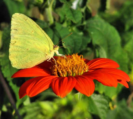 Cloudless Sulphur butterfly sipping nectar from Tithonia