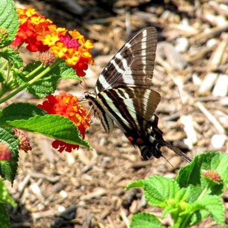 Zebra Swallowtail butterfly nectaring from Lantana camara photo