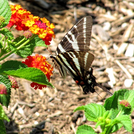 nectaring: Zebra Swallowtail butterfly nectaring from Lantana camara Stock Photo