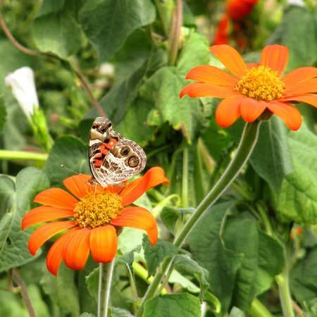 sipping: American Lady butterfly sipping nectar from Tithonia