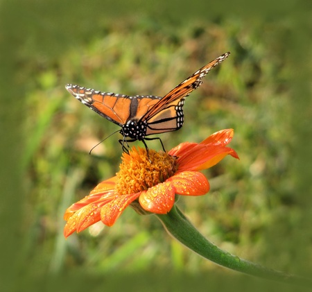 Monarch Butterfly sipping nectar from Tithonia photo