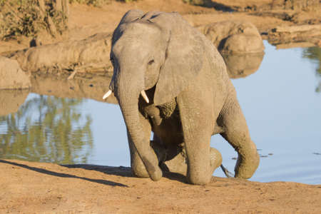 An African Elephant struggling to climb out of a waterhole in Kruger, South Africa