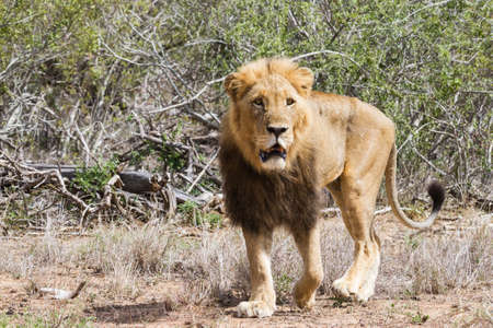 Closeup of an adult male lion with dark mane walking in Kruger National Park, South Africa