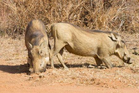 Common warthog (Phacochoerus africanus) pair closeup on their knees grazing in South Africa