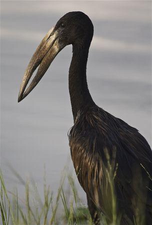 openbill: African Openbill Stork Stock Photo