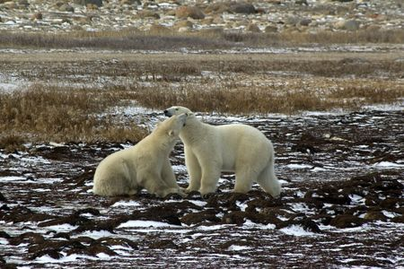 Two male polar bears fighting on the tundra outside Churchill, Manitoba in November.