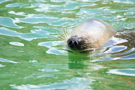 harbour seal swims