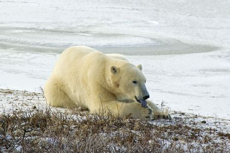Polar bear licking his paw while lying down on tundra in Churchill Manitoba