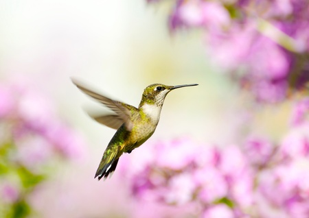 Close up image of a pretty female ruby throated hummingbird in motion in the garden.  Stock Photo