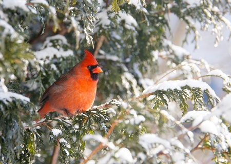 A beautiful, brightly colored male Northern Cardinal perched on a cedar hedge in the snow.