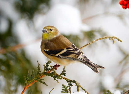 Nice image of a colorful American goldfinch perched on a cedar branch in the winter, with red berries.