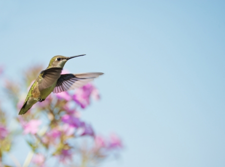 Een mooie vrouwelijke robijn throated kolibrie in beweging in de tuin.