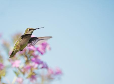 Une belle robe rubis femelle colibri � gorge en mouvement dans le jardin.