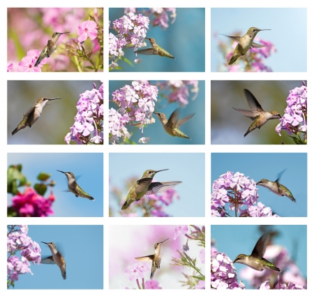 Unique collage featuring beautiful female hummingbirds in the garden on white.  Stock Photo
