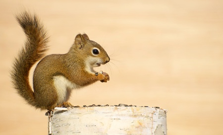 Close up image of a cute baby squirrel on a birch log enjoying some sunflower seeds in the autumn with copy space.