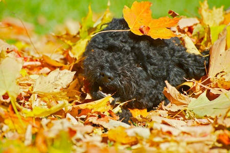 An adorable miniature poodle romps happily in the leaves on a beautiful autumn afternoon with copy space.