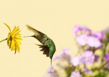 Color� l'image d'une jolie jeune m�le rubis Colibri � gorge Archilochus colubris en mouvement dans le jardin