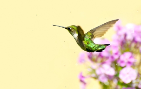 Colorful close up image of a pretty female ruby throated hummingbird  archilochus colubris  flying through a sprinkle of water in the garden on a hot summer day with copy space  photo
