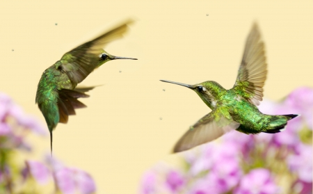 Colorful close up image of a female ruby throated hummingbird  archilochus colubris  and a juvenile male in motion, fighting over territory   Stock Photo