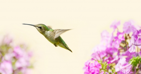 Colorful close up image of a pretty juvenile male ruby throated hummingbird  archilochus colubris  in motion in the garden in the late summer