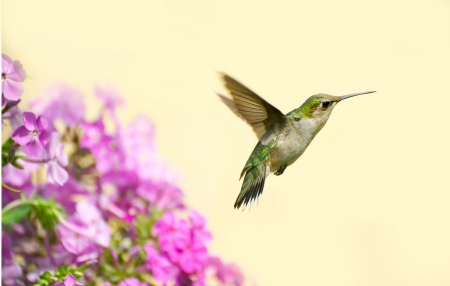 Close up image of a pretty juvenile male ruby throated hummingbird  archilochus colubris  in motion in the garden on a hot summer day with copy space