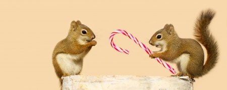 Cute image of a young male squirrel offering a candy cane at Christmas time to a happy looking pretty little female while perched on a log in the winter, with copy space