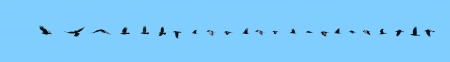 sequence: Interesting 23 image flight sequence of a raven, isolated on blue