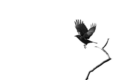 High key, desaturated image of a solitary raven taking flight, on a white background with copy space   Stock Photo
