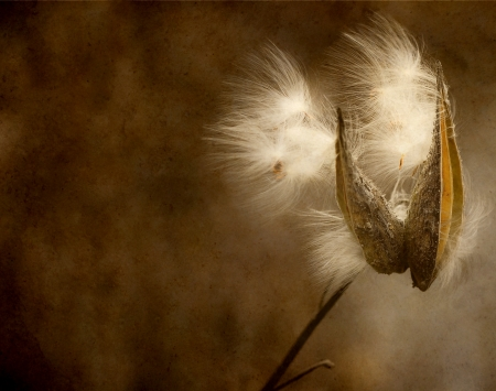 Milkweed seeds blowing in the Autumn breeze with antique texture