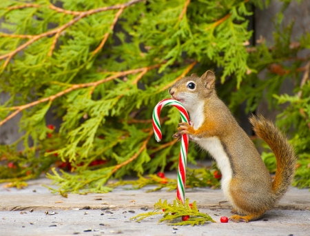 Colorful image of a little squirrel who seems to be very happy to have found a candy cane on a rustic wood and cedar background with copy space Not a photomanipulation