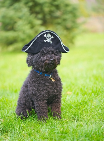Humorous image of a little miniature poodle with his Halloween pirate hat on outside in the fall with copy space   photo