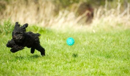 그의 눈에 보이지 않는 울타리 칼라와 공을 쫓는 잔디를 통해 확대 사랑스러운 장난감 푸들 강아지 유머 이미지, 복사 공간 봄에서 즐기는 자유