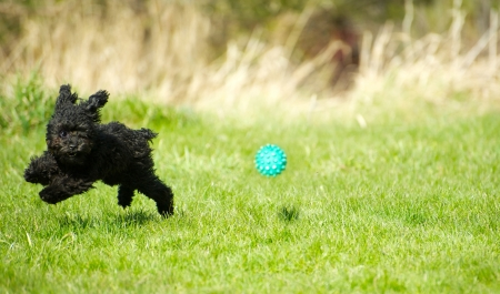 Humorous image of an adorable toy poodle puppy zooming through the grass chasing a ball with his invisible fencing collar on, enjoying freedom in the Spring with copy space