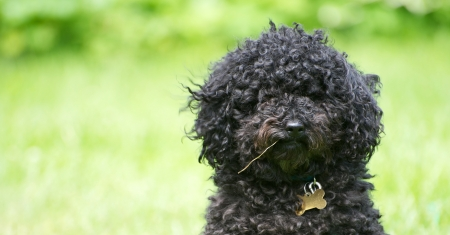 Humorous close up portrait of a scruffy little miniature poodle with a piece of grass in his mouth like a farmer with copy space