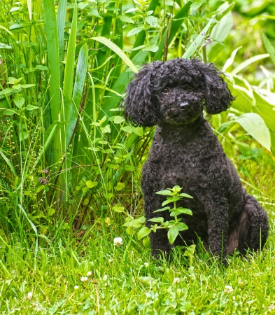 Portrait of an adorable miniature poodle with his summer haircut posing by the garden in the summer with copy space