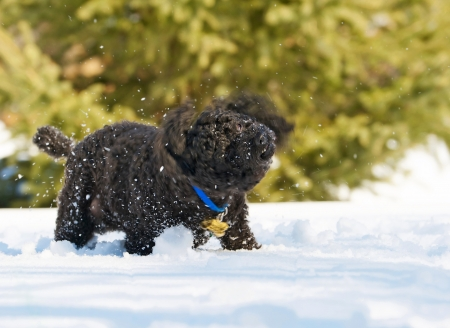 Close up image of a little black miniature poodle in motion shaking snow off of his fur