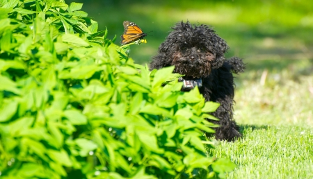 Cute image of an adorable seven month old black toy poodle puppy looking happily at the camera from behind a garden, pleased that a monarch butterfly has landed on a solitary dandelion beside him   版權商用圖片