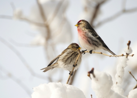 Nice image of a male and female Common Redpoll perched on a lilac branch after a big snow and ice storm