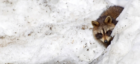 A wild baby raccoon peeks out from behind a snow bank