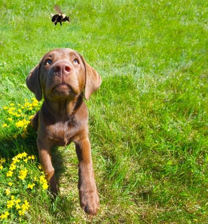 Imagen chistosa de gran angular de un cachorro de labrador color chocolate mirando con excitación a un abejorro que pasa en el verano