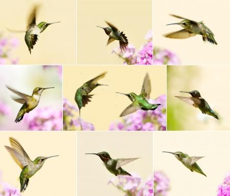 Collage color� avec beau m�le, juv�nile, et de rubis femelle gorge rubis en mouvement dans le jardin en �t�