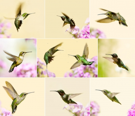 Colorful collage featuring beautiful male, juvenile, and female ruby throated hummingbirds in motion in the garden in summer   版權商用圖片