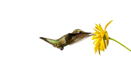 ruby throated: Colorful close up image of a pretty female ruby throated hummingbird  archilochus colubris  approaching a yellow flower, isolated on white