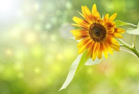 Gros plan image d'un beau tournesol au soleil avec le bokeh color� Banque d'images