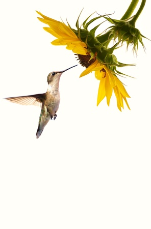A female ruby throated hummingbird in motion approaching a beautiful sunflower head on a pale cream background with copy space