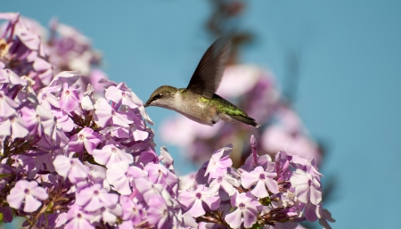 ruby throated: Lovely ruby throated female humming bird collecting nectar from flowers in ealy fall