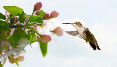 ruby throated: A pretty female ruby throated hummingbird approaching apple blossoms in the Spring