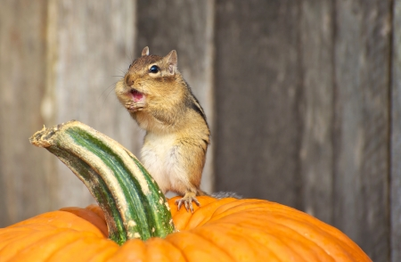 A cute chipmunk standing on a pumpkin, making a funny face in the autumn with copy space